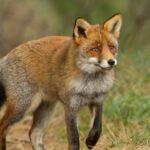 Παράταση του προγράμματος ενεργητικής επιτήρησης της Λύσσας