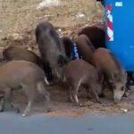 """Συνεχίζονται οι επιδρομές των """"αγριόχοιρων"""" στην Εκάλη.....VIDEO"""