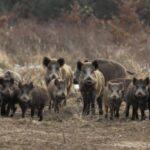 Συνεργεία δίωξης αγριόχοιρων όλο το χρόνο ακόμη και σε καταφύγια άγριας ζωής