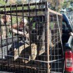 Επιτυχής απομάκρυνση αγριόχοιρων από το Πανόραμα Θεσσαλονίκης