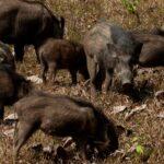 Προληπτικά μέτρα του υπουργείου Περιβάλλοντος για την αποτροπή της εισόδου της αφρικανικής πανώλης των χοίρων στη χώρα μας