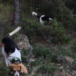 Δολοφονική επίθεση λύκων σε λαγόσκυλο στον Αγ. Αθανάσιο Πέλλας