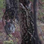 Κυνήγι λύκου στο Αϊντάχο των ΗΠΑ...VIDEO