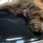 Στο Βέρμιο η νέα δολοφονική επίθεση λύκου σε κυνηγόσκυλο