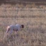 Κυνήγι ορτυκιού με ένα πόιντερ....VIDEO