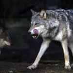 Νεκρό γουρουνόσκυλο από επίθεση λύκων στη Φλώρινα