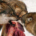 Στη Φλώρινα η νέα δολοφονική επίθεση σε κυνηγόσκυλο