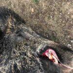 Επίθεση αγριόχοιρου σε κυνηγό στην Κυνουρία. Νοσηλεύεται στο νοσοκομείο
