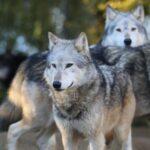 Θανατηφόρα επίθεση λύκων σε λαγόσκυλο στην Κοζάνη
