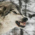 Δολοφονική επίθεση λύκων σε γουρουνόσκυλο στη Δράμα