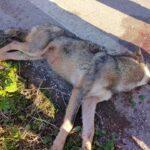 Τροχαίο με λύκο στο δρόμο Θήβας-Ερυθρών