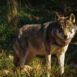 Ακόμη μια θανατηφόρα επίθεση λύκων σε κυνηγόσκυλο στη Δράμα