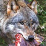 Θανατηφόρα επίθεση λύκων σε λαγόσκυλο στην Ψηλή Ράχη Δράμας