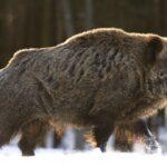 Κυνήγι αγριόχοιρου όλο το χρόνο σε συγκεκριμένες περιοχές της Ξάνθης