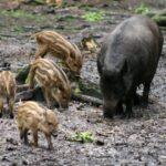 Ν. Σταθόπουλος : Όχι στην εξολόθρευση του πληθυσμού των αγριόχοιρων...VIDEO