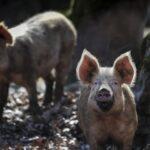 Συναγερμός με κρούσμα πανώλης σε χοίρους στις Σέρρες