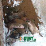 31 χοίροι θανατώθηκαν στη Νικόκλεια Σερρών εξαιτίας της πανώλης