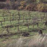 Τριπλέτα σε αγριόχοιρους σε κυνήγι στη Γαλλία...VIDEO