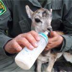 ΚΥΠΡΟΣ: Περίθαλψη νεογέννητου αγρινό από την Υπηρεσία Θήρας και Πανίδας