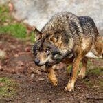 Γαλλία : Είναι ο λύκος εγγυητής της βιοποικιλότητας;