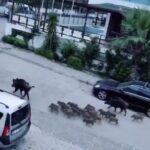 """Αγριόχοιροι """"κατέλαβαν"""" πόλη στην Τουρκία.....VIDEO"""