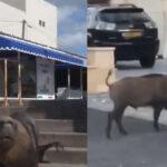 Κορωνοϊός: Κατάληψη σε αστικά κέντρα από θαλάσσια λιοντάρια και αγριογούρουνα! ...VIDEO