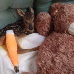 Κυνηγοί διέσωσαν νεογέννητο ζαρκαδάκι
