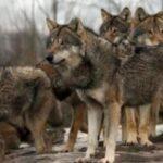 Φθιώτιδα : Οι λύκοι κατέβηκαν στον …κάμπο...VIDEO
