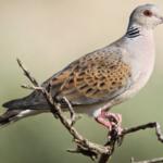 ΚΥΠΡΟΣ : Στις 23 Αυγούστου ξεκινά το κυνήγι φάσσας-τρυγονιού