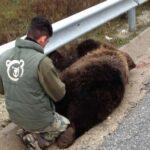 Κοζάνη: Νεκρή αρκούδα στην Εγνατία Οδό