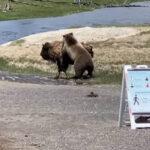 Ο φακός κατέγραψε φονική μάχη αρκούδας και βίσονα....VIDEO