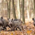 Ν. Σταθόπουλος : Τι ισχύει για το κυνήγι του αγριόχοιρου....VIDEO