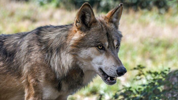 wolf-2952937_960_720-e1629130301769.jpeg